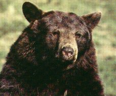 California Black Bear